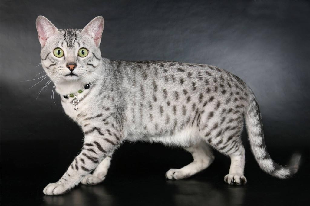 Кошка порода в картинках