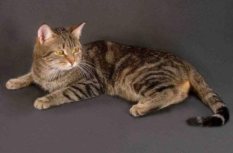 Породы короткошерстных кошек фото и названия и описание
