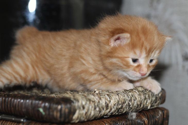 Маленький котенок породы курильский бобтейл
