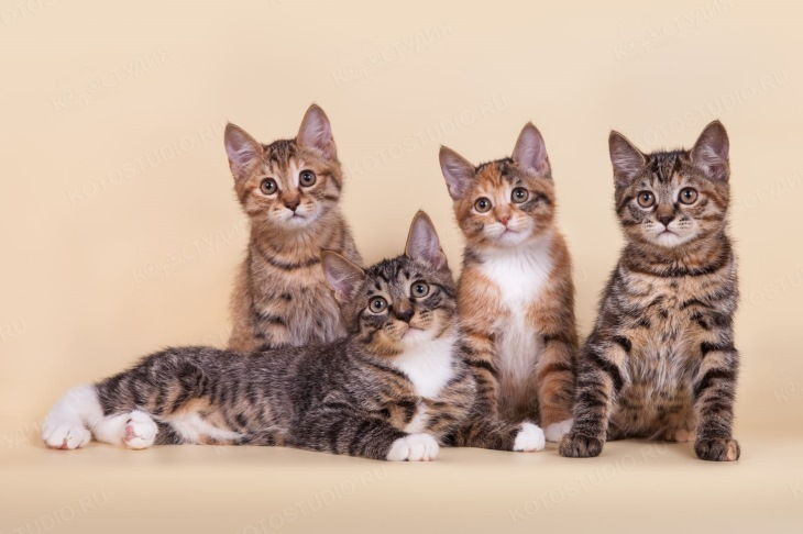 Внешний вид котят курильский бобтейл
