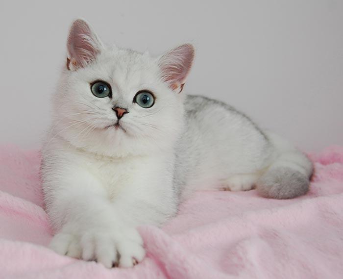 Картинки шиншилловые коты
