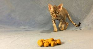 Как вылечить кота от истощения thumbnail