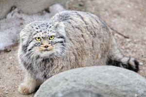 Экстерьер кошки Манул