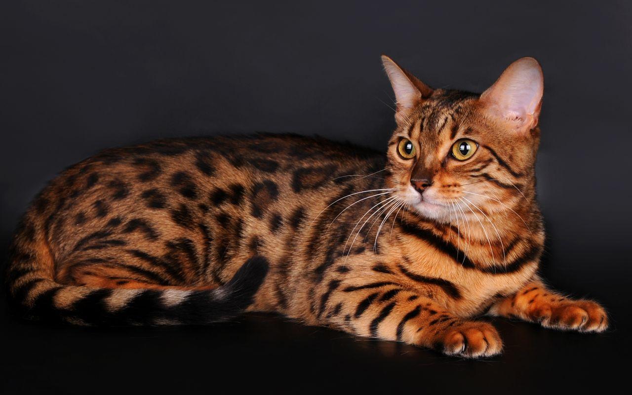 Породы кошек на фотографиях