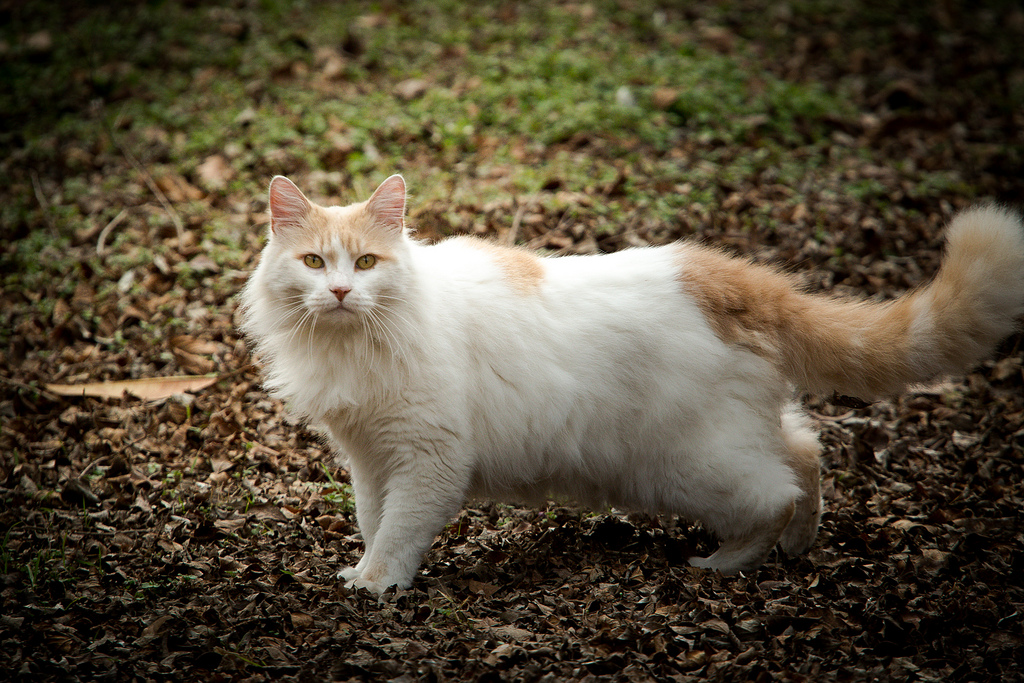 турецкий ван порода кошек фото например